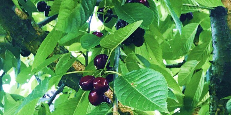 Reife Kirschen im Baum